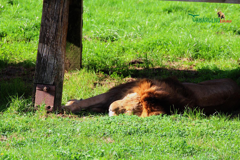 león | Cabárceno Explorer